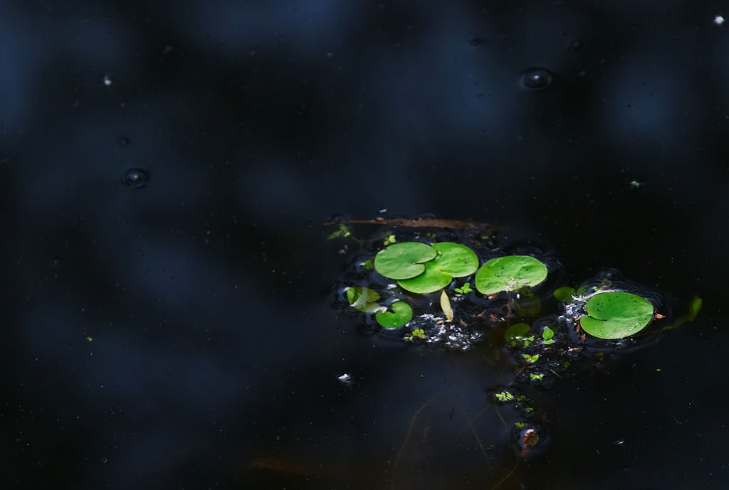 Black Pond, Green Lilly Pads