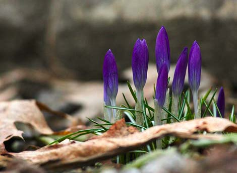 Crocus Awaken