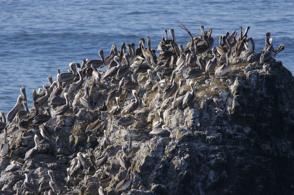 Pelicans At the Rocks